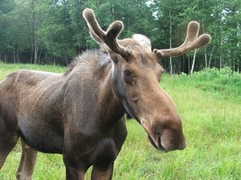 Peter moose